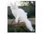 A donner très belle jolie bébé chaton blanche .