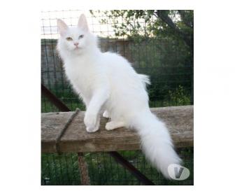 A donner très belle jolie bébé chaton blanche . 1