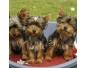 Adorable et magnifique chiots yorkshire