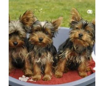 Adorable et magnifique chiots yorkshire 1