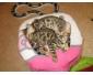 Beaux chatons bengal à donner