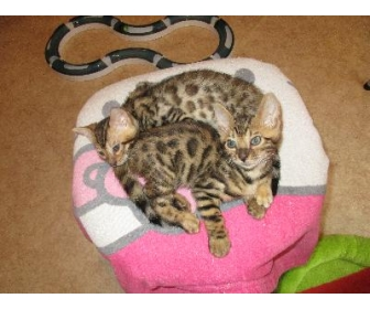 beaux chatons bengal donner 1 - Chaton Bengal Gratuit