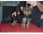Magnifique chiot femelle yorkshire