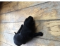 Chiot flat Coat/ golden