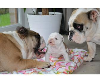 Magnifique femelle Bulldog Anglais née en Belgique 17/9/15 1