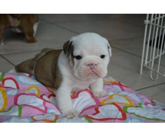 Magnifique femelle Bulldog Anglais née en Belgique 17/9/15 2