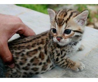 Recherche chatons bengal a donner - Chaton bengal gratuit ...