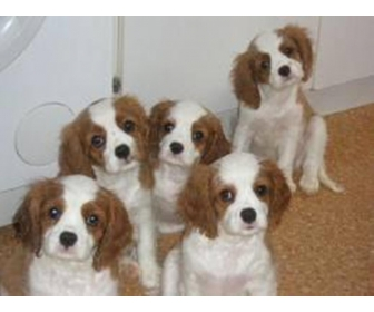 Chiots Cavalier King Charles 2
