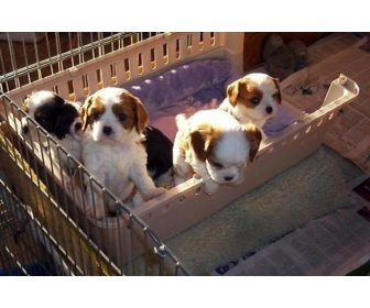 Chiots Cavalier King Charles 1