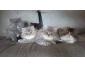 Magnifiques chatons persans cherchent leurs familles