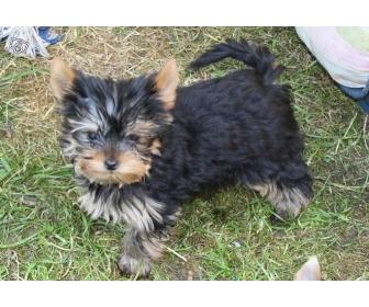Chiot type Yorkshire terrier femelle 2