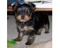 Chiot type Yorkshire terrier femelle