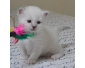 Lili chaton sacre de birmanie
