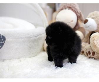 Magnifiques chiots de type Poméranien Noire 2