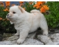 Chow chow femelle blanche
