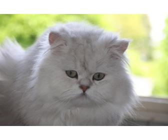 Magnifique cadeau des petits chaton persan 2