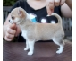 Lily Gentil chiot Chihuahua cream (blanc chreme )