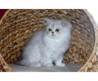 Magnifique cadeau des petits chaton persan 3