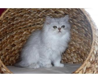Magnifique cadeau des petits chaton persan 1