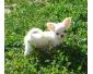 chiot type chihuahua Femelle à poil court née