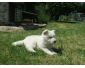 A donner chiot Berger Blanc Suisse