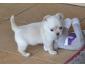 Don adorable femelle Chihuahua non LOF