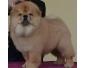 Adorable chiot chow chow femelle de 3mois nee le 18/09/15