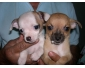 A donner Chiot femelle et male type Chihuahua