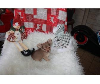 Adorable chiots chihuahua LOF à vendre 3