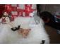 Adorable chiots chihuahua LOF à vendre