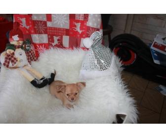 Adorable chiots chihuahua LOF à vendre 1