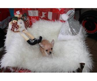 Adorable chiots chihuahua LOF à vendre 2