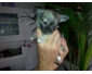 Chihuahua a vendre