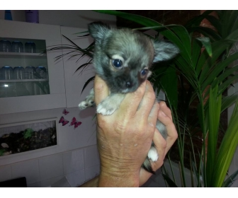 Chihuahua a vendre 1