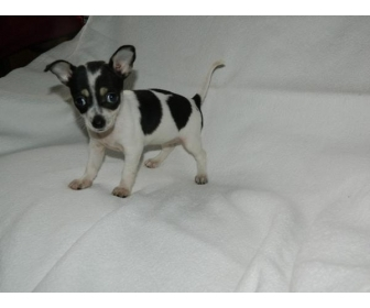 Chiot type chihuahua Femelle 1