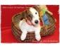 Chiot Fox Terrier Poil Lisse Pedigree (2 mois et demi)
