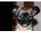 Jolie bébé Chiots chihuahua