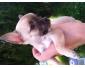 Chiot miniature type chihuahua beige