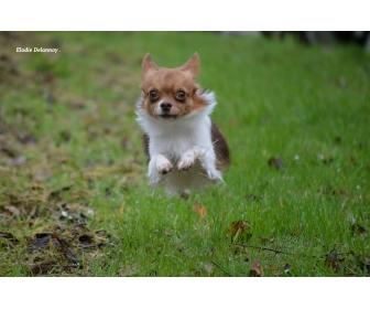Chihuahua choco porteur lavande disponible 2