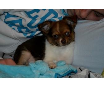 Chihuahua choco porteur lavande disponible 4