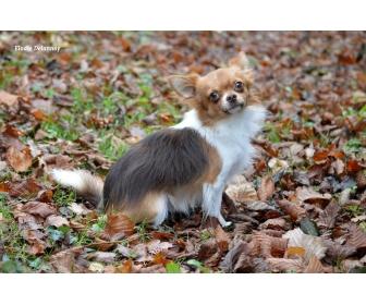 Chihuahua choco porteur lavande disponible 3