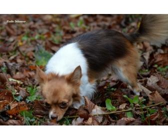 Chihuahua choco porteur lavande disponible 1