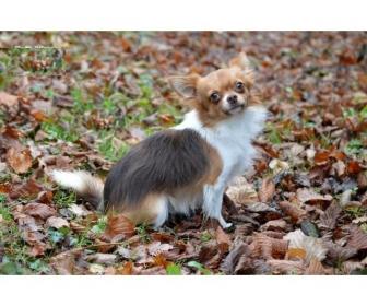 A donner Chihuahua choco porteur lavande 1