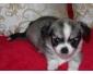 Très jolis Bébés Yorkshire Terrier Pure Race
