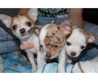 Chihuahuas à donner à Liège 1