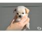 A donner Chihuahua femelle mini poils longs