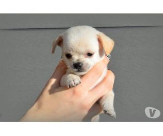 A donner Chihuahua femelle mini poils longs 1
