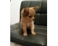 Superbes Chiots Chihuahua Pure Race Poils courts
