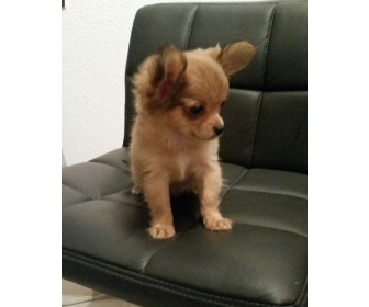 Superbes Chiots Chihuahua Pure Race Poils courts 1