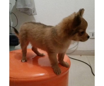 Superbes Chiots Chihuahua Pure Race Poils courts 2